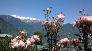 Roses&snow_Naggar_India