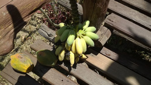 Another gift from our landlord - bananas & papaya from the tree